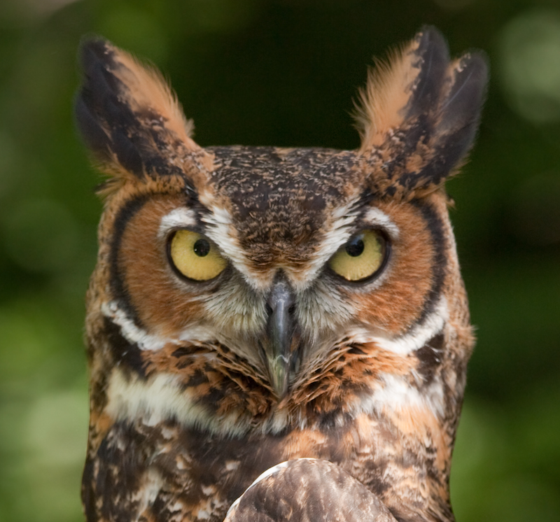 Great Horned Owl Cropped