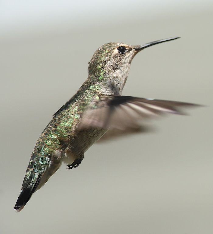 Female_annas_hummingbird_hovering