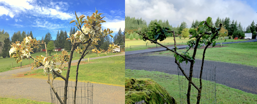 Fruit Trees Before and After